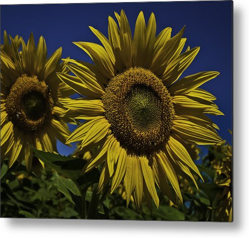 Sunflower Metal Print featuring the photograph You Are My Sunshine by Nigel Jones