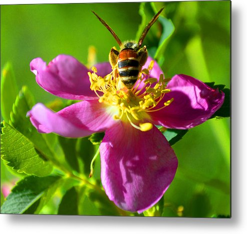 Wild Rose Metal Print featuring the photograph Bee Here Now by Susanne Still