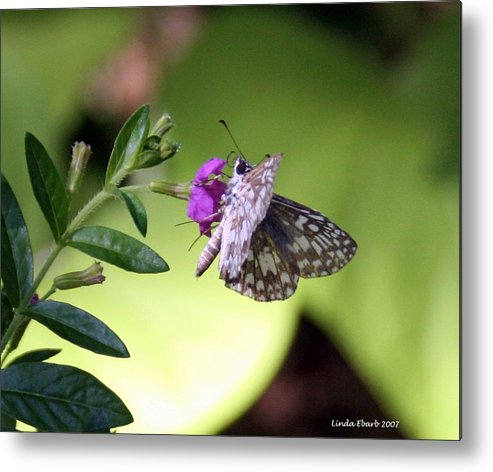 Insect Metal Print featuring the photograph Butterfly On Heather by Linda Ebarb