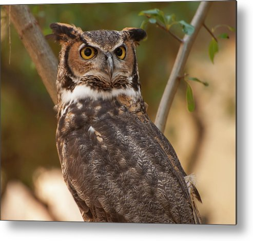 Great Horned Owl Metal Print featuring the photograph Great Horned Owl In A Tree 3 by Chris Flees