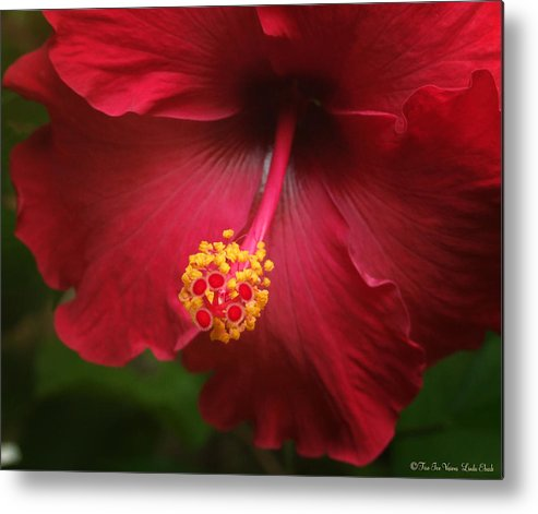 Hibiscus Flower Flowers Plants Blooms Garden Floral Metal Print featuring the photograph Hibiscus by Linda Ebarb