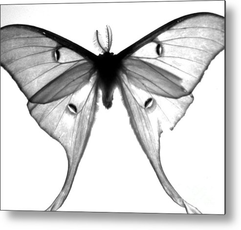 Moth Metal Print featuring the photograph Moth by Amanda Barcon