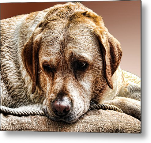 Dog Metal Print featuring the photograph Peanut After A Swim by Norma Rowley