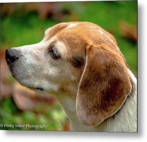 Dog Metal Print featuring the photograph Pondering His Next Move by Penny Miller
