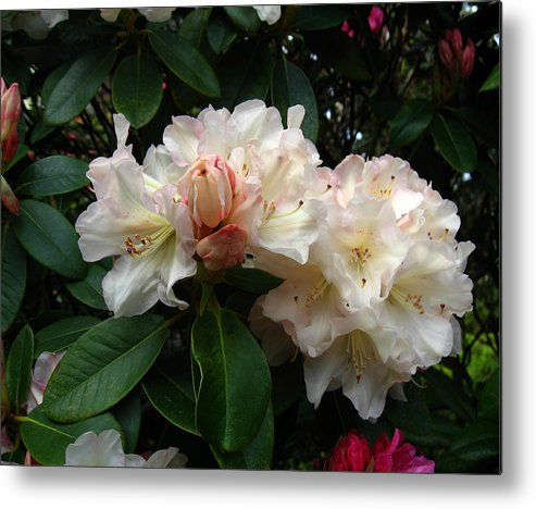 Rhododendrons Metal Print featuring the photograph Rhododendrons IIi by Aliza Souleyeva-Alexander