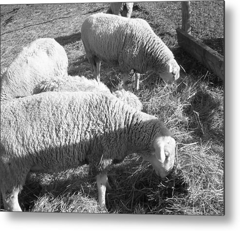 Black Metal Print featuring the photograph Sheep by Shannon Crandall