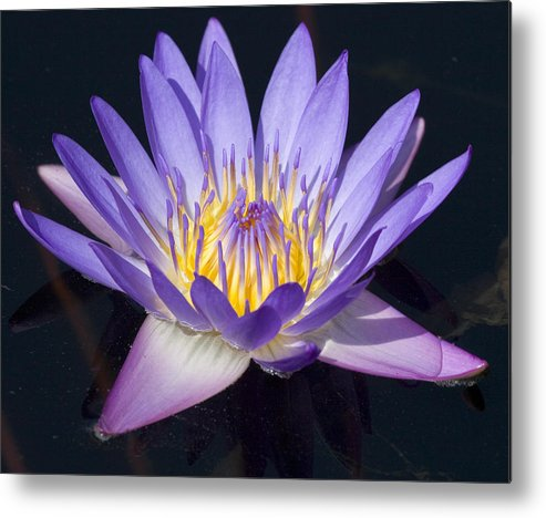 Flower Metal Print featuring the photograph Water Lily by Elvira Butler