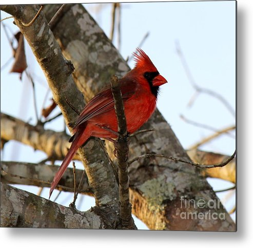 Male Cardinal Metal Print featuring the photograph Cardinal by Jessica Christensen