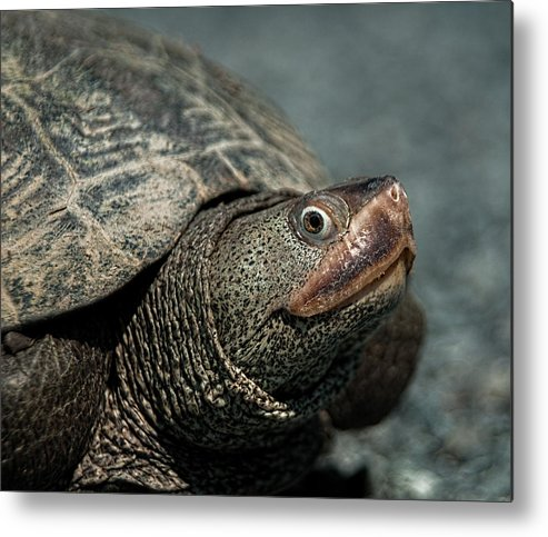 Diamondback Terrapin Metal Print featuring the photograph Diamondback Terrapin by Lara Ellis