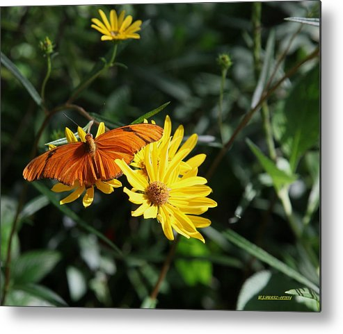 Orange Julia Butterfly On Sunflower Metal Print featuring the photograph Julia On Yellow Flower by Walter Burke