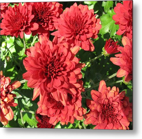 Mums Metal Print featuring the photograph Red Mums by TN Fairey