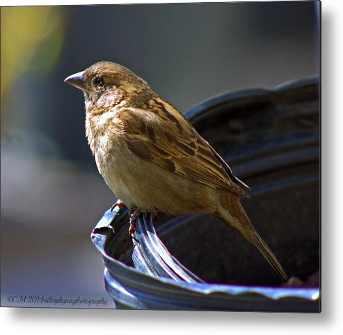 Female Sparrow Metal Print featuring the photograph Sparrow Sentry by Catherine Melvin