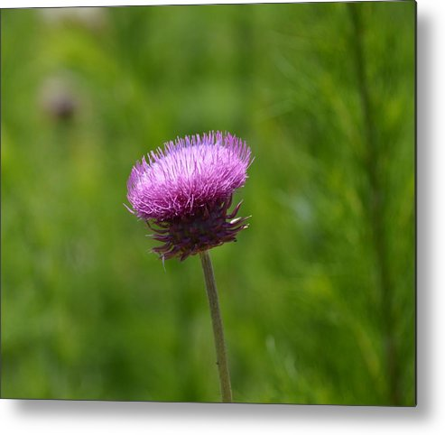 Thistle Metal Print featuring the photograph Thistle by Stacey Pollio