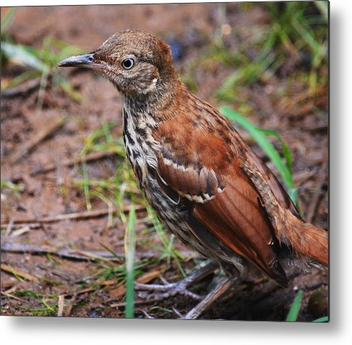 Thrasher Metal Print featuring the photograph Thrasher by Stacey Pollio