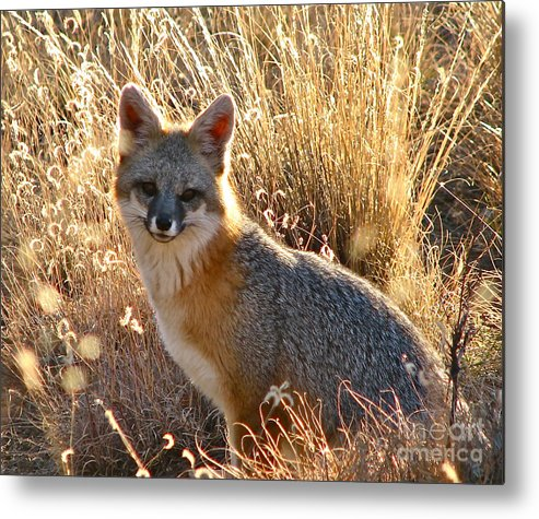 Animal And Earth Metal Print featuring the photograph Fox Timmy At Sunset by Dave  ILes