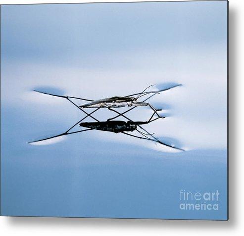 Water Strider Metal Print featuring the photograph Water Strider by Hermann Eisenbeiss