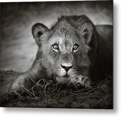 Wild Metal Print featuring the photograph Young Lion Portrait by Johan Swanepoel