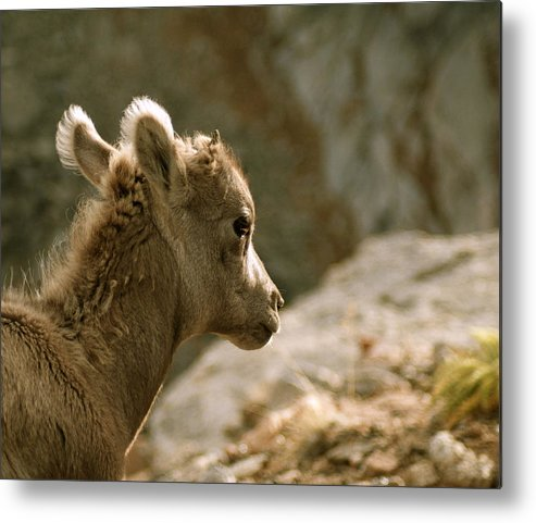 Animals Metal Print featuring the photograph Baby Big Horn Sheep by Diane Jensen