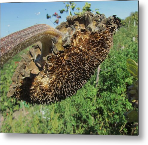 Sunflower Metal Print featuring the photograph Flower by Todd Sherlock