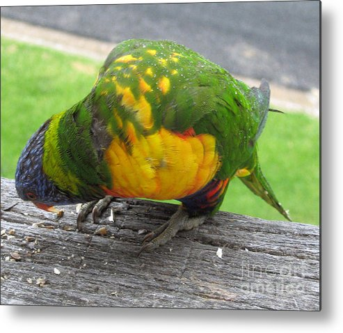 Lorikeet Metal Print featuring the photograph Free Feed by Joanne Kocwin