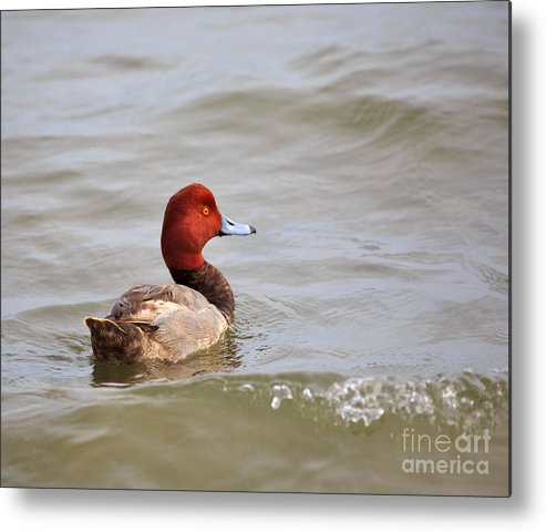 Nature Metal Print featuring the photograph Redhead Duck by Louise Heusinkveld