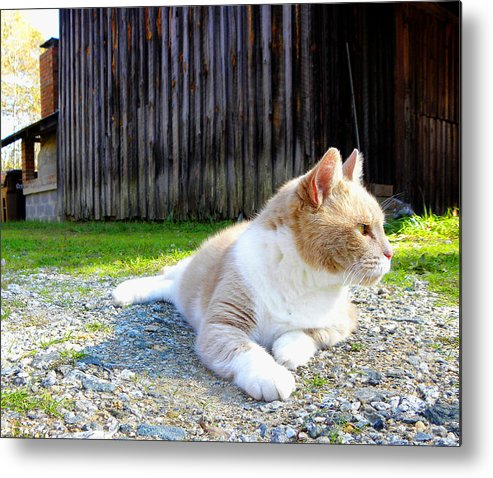 Cat Metal Print featuring the photograph Toby Old Mill Cat by Sandi OReilly