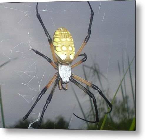 Bugs Metal Print featuring the photograph Texas Garden Spider by Evelyn Patrick