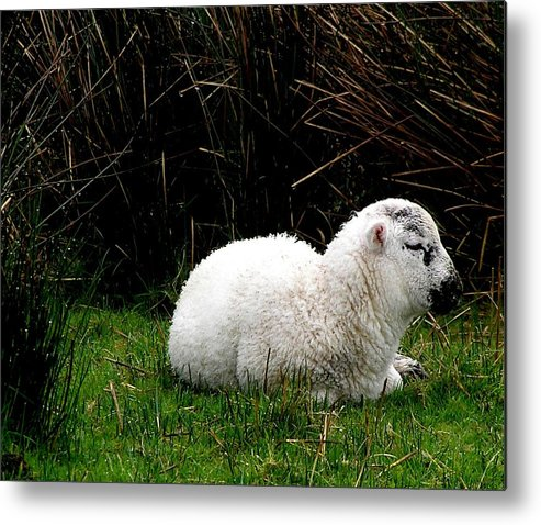 Sheep Metal Print featuring the photograph Baby Lamb by Jeanette Oberholtzer