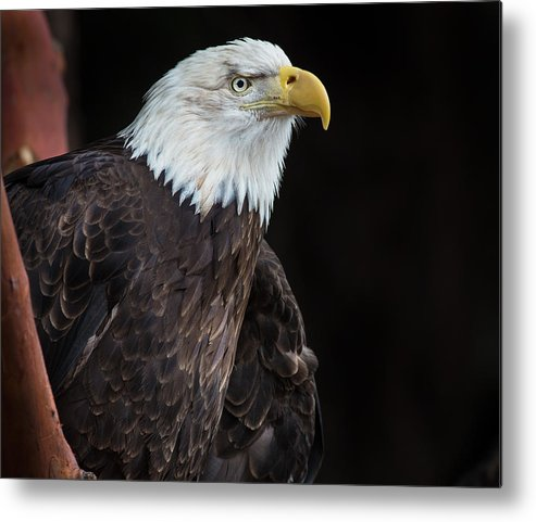Bald Eagle Metal Print featuring the photograph Bald Eagle Intensity by Greg Nyquist