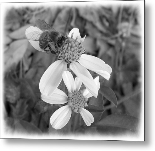Nature Metal Print featuring the photograph Black And White Bee by Elaine Ferrell