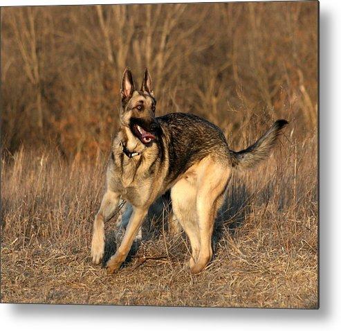 Animal Metal Print featuring the photograph German Shepherd 1 by David Dunham