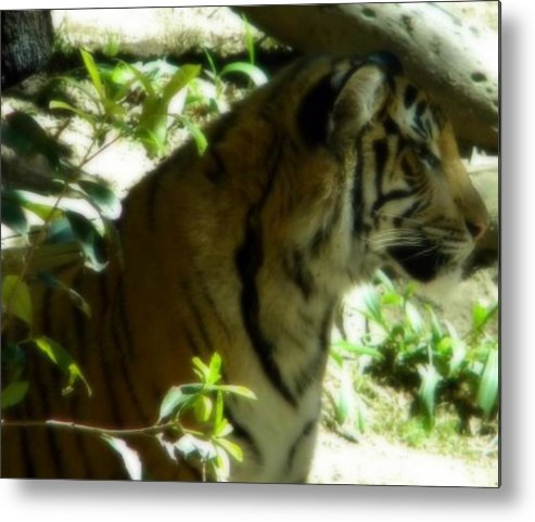 Tiger Metal Print featuring the photograph On Alert by Amanda Eberly-Kudamik