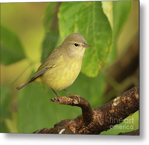 Bird Metal Print featuring the photograph Orange Crowned Warbler by Dennis Hammer
