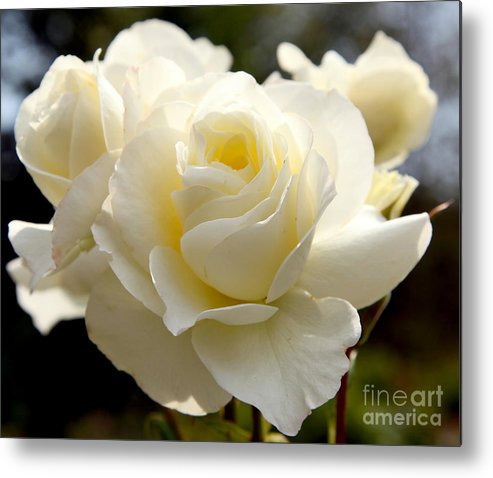 White Metal Print featuring the photograph White Rose by Dean Triolo