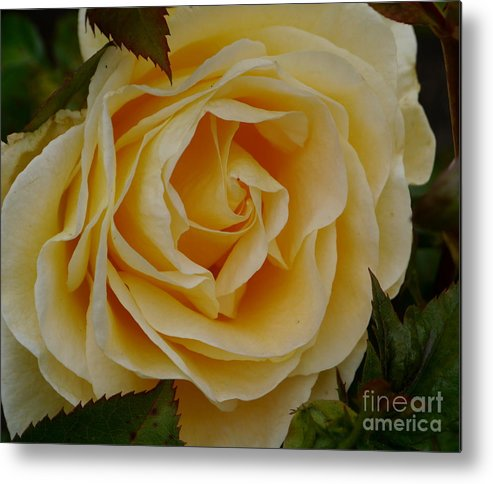 Rose Metal Print featuring the photograph Golden Celebration by Christiane Schulze Art And Photography