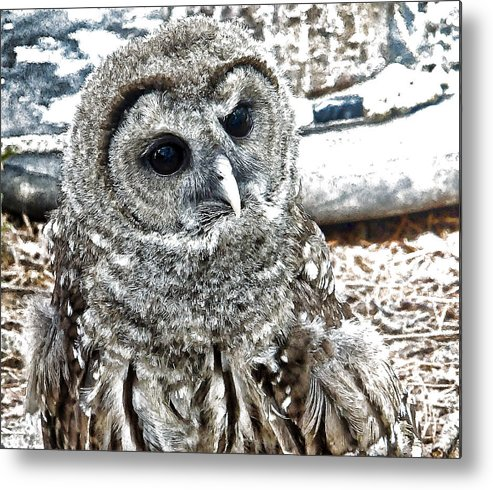 Barred Owl Metal Print featuring the photograph Barred Owl Photo Art by Constantine Gregory