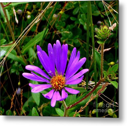 Aster Metal Print featuring the photograph Lone Aster by CapeScapes Fine Art Photography