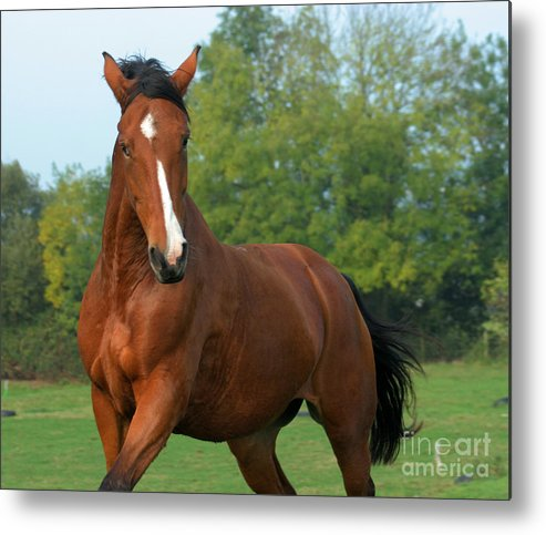 Horse Metal Print featuring the photograph Look How Pretty I Am by Angel Ciesniarska