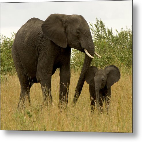 Elephants Metal Print featuring the photograph Mom And Little by Amy Warr