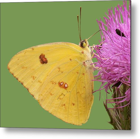 Butterfly Metal Print featuring the photograph Orange Barred Sulphur by Myrna Bradshaw