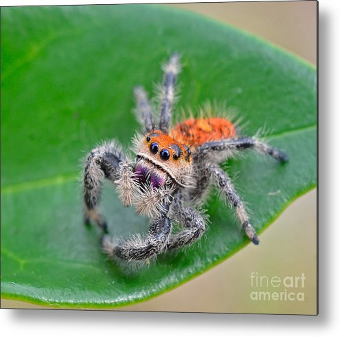 Jumping Spider Metal Print featuring the photograph Regal Jumping Spider by John Serrao