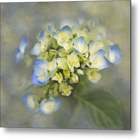 Hydrangea Metal Print featuring the photograph Summer Begins by Angie Vogel