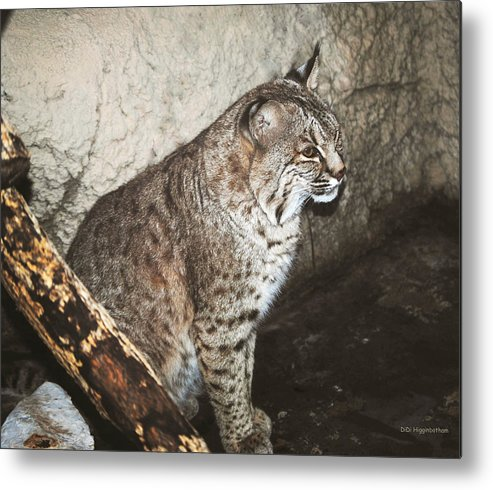 Bobcat Metal Print featuring the photograph Bobcat by DiDi Higginbotham