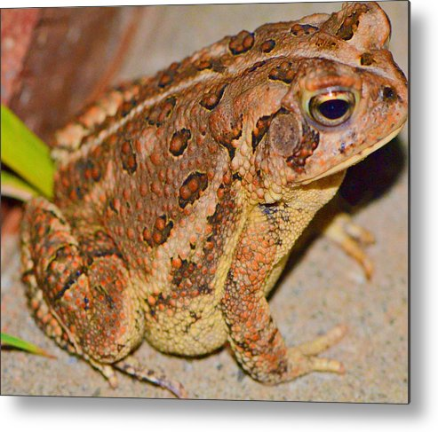 Frog Metal Print featuring the photograph Freddie The Frog by Tanya Tanski