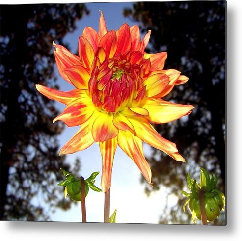 Dahlia Metal Print featuring the photograph Bold And Beautiful by Will Borden
