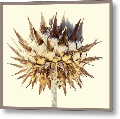 Cynara Cardunculus Metal Print featuring the photograph Cardoon by Nick Eagles