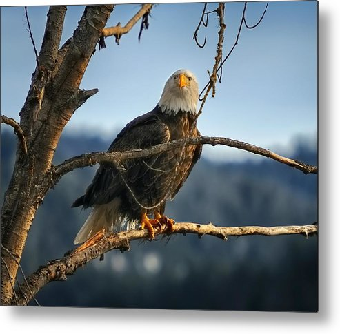 Bald Eagle Metal Print featuring the photograph Eagle Eyed by Philip Kuntz