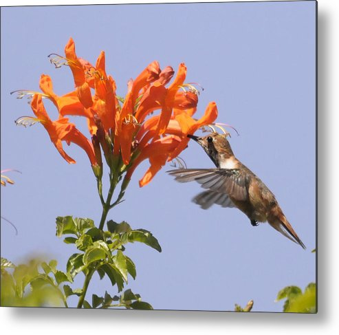 Bird Metal Print featuring the photograph Hummingbird And Honeysuckle by Clarence Alford