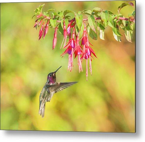 Loree Johnson Photography Metal Print featuring the photograph Hummingbird Heaven by Loree Johnson