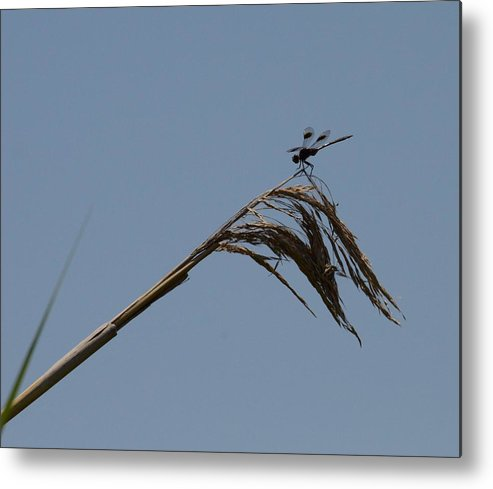 Fly Metal Print featuring the photograph Marsh Dragonfly by Douglas Grohne